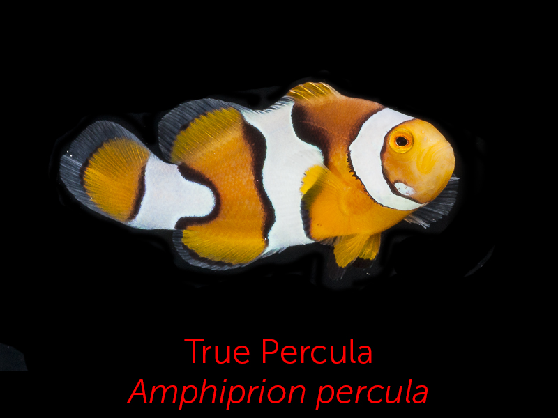 Segrest farms tank raised clownfish for Clown fish life cycle