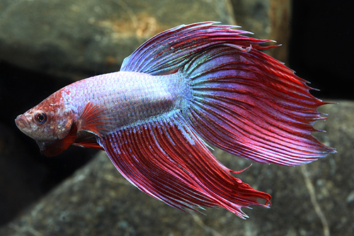 Giant betta male lrg betta splendens segrest farms for Biggest betta fish