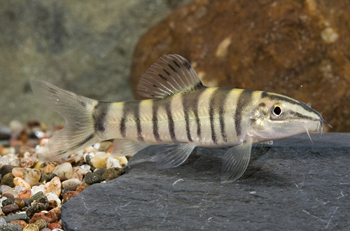 picture of Royal Gold Banded Loach Reg                                                                          Leptobotia guilinensis