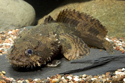 Freshwater lionfish sml batrachomoeus trispinosus for Stone fish facts