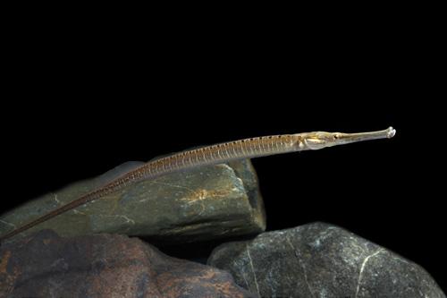 freshwater pipefish lrg microphis smithi - Segrest Farms