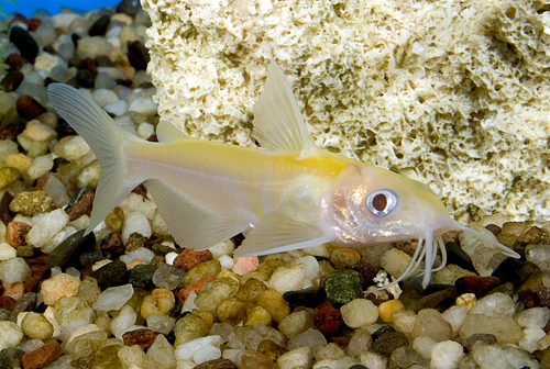 albino channel catfish sml ictalurus punctatus albino segrest farms