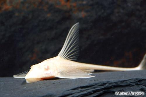 Royal catfish