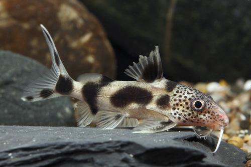 zebra synodontis catfish hybrid med synodontis ocellifer x ...