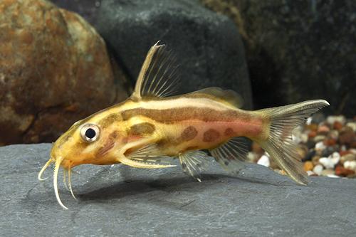 Synodontis flavitaeniatus catfish florida sml synodontis for Fish farms in florida