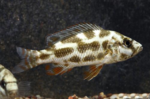 livingstonii cichlid lrg nimbochromis livingstonii - Segrest Farms