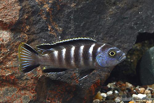 Картинки по запросу pseudotropheus elongatus chailosi