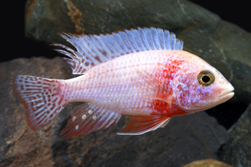 strawberry peacock cichlid med aulonocara sp. 'strawberry ...