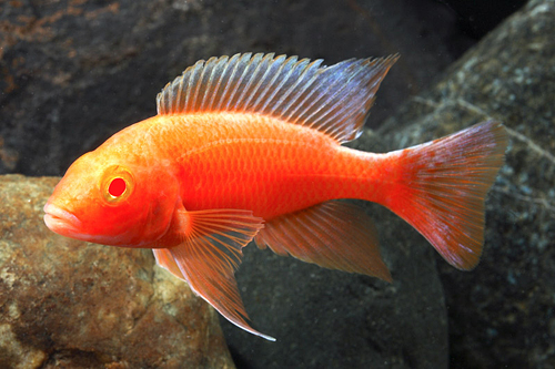albino strawberry peacock cichlid med aulonocara sp ...