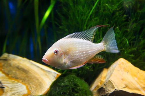 Albino Acarichthys heckelii Cichlid in an aquarium