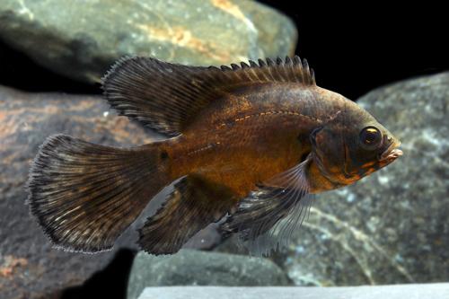 Longfin red oscar reg astronotus ocellatus segrest farms for Red oscar fish