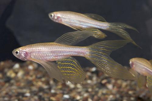 Longfin gold zebra danio reg brachydanio rerio segrest farms for Danio fish care