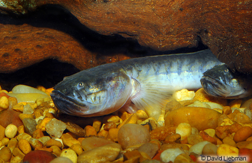 Dragon fish goby reg gobioides broussonetti segrest farms for Dragon fish goby