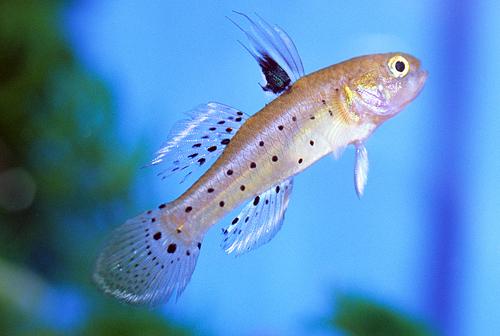 Knight goby sml stigmatogobius sadanundio segrest farms for Freshwater goby fish