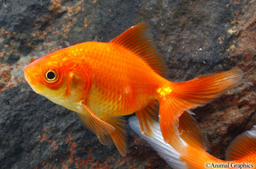 red fantail goldfish m/s carassius auratus - Segrest Farms