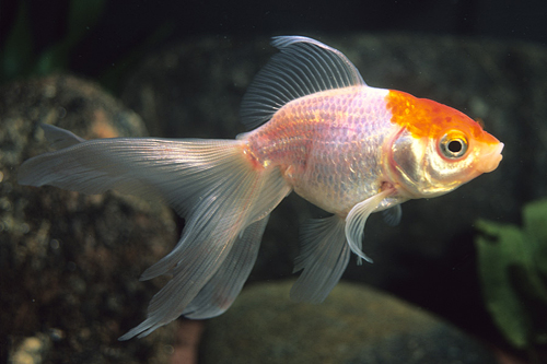 red and white fantail goldfish m/s carassius auratus ...