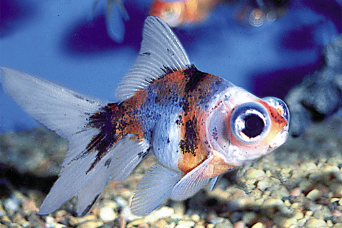 Orange telescope goldfish images for Pesce rosso butterfly