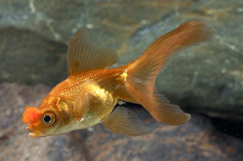 chocolate pom pom oranda goldfish reg carassius auratus ...