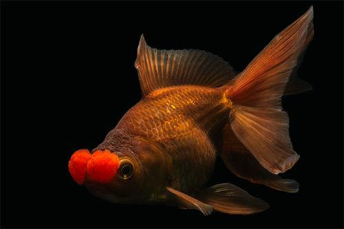 chocolate pom pom oranda goldfish lrg carassius auratus ...