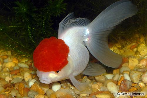 red cap oranda goldfish lrg carassius auratus - Segrest Farms  Red