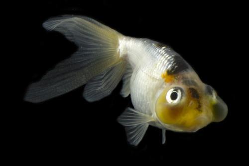 Blue bubble eye goldfish - photo#2