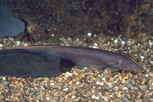 Картинки по запросу apteronotus leptorhynchus aquarium