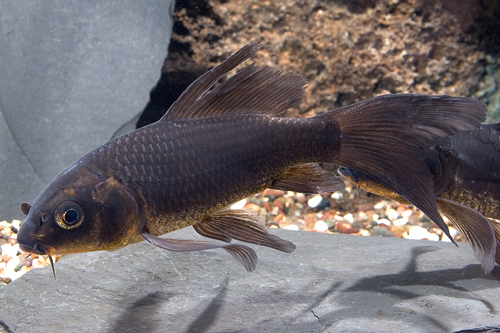 Black Butterfly Koi 8 10 Lrg Cyprinus Carpio Segrest Farms