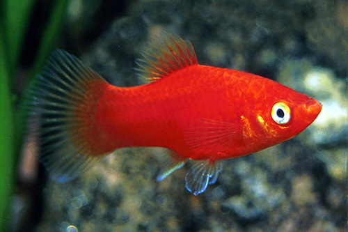 picture of Red Platy Reg                                                                                        Xiphophorus maculatus