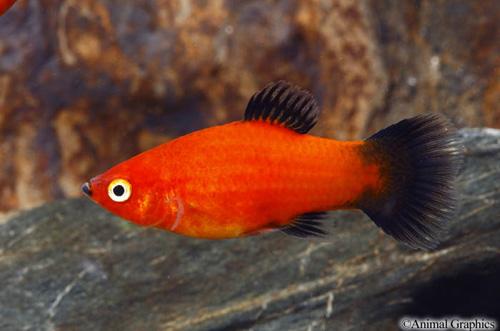 Sunburst Wag Platy | Aquarium | Fish, Live fish, Beautiful ...