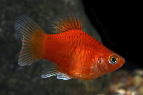 Balloon red platy reg xiphophorus maculatus segrest farms for Molly fish food