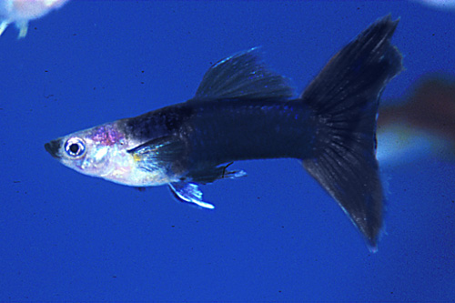 black delta guppy pair med poecilia reticulata - Segrest Farms