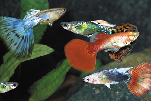 Assorted delta guppy male med poecilia reticulata for Guppy fish care