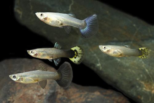 Assorted fancy guppy female lrg poecilia reticulata for Fancy guppy fish