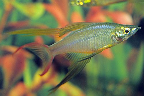 Threadfin rainbow lrg iriatherina werneri segrest farms for Rainbow fish care