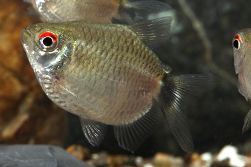 balloon red eye tetra sml moenkhausia sanctaefilomenae - Segrest Farms