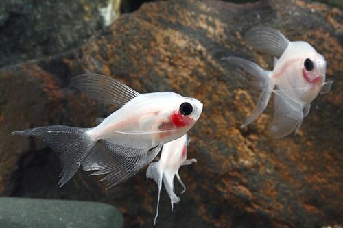 blushing longfin white skirt tetra lrg gymnocorymbus ternetzi albino ...