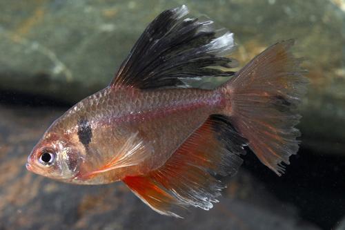 longfin serpae tetra reg hyphessobrycon eques longfin - Segrest ...