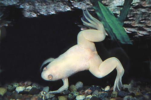 Albino African Clawed Frog Albino African Clawed Frog Reg