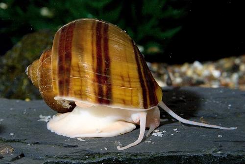 albino mystery snail med pomacea diffusa - Segrest Farms