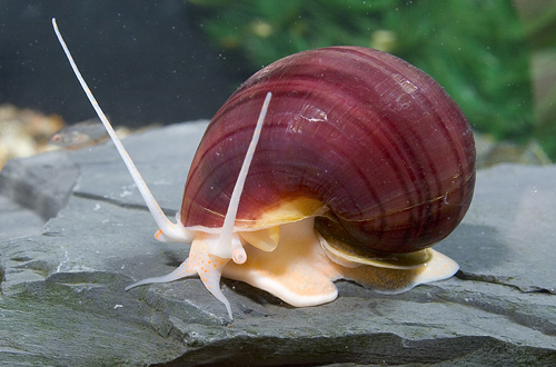 Lavender mystery snail reg pomacea diffusa segrest farms for Fish tank snails