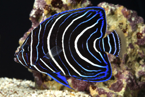 Koran Angelfish  aquariumbazaarcom