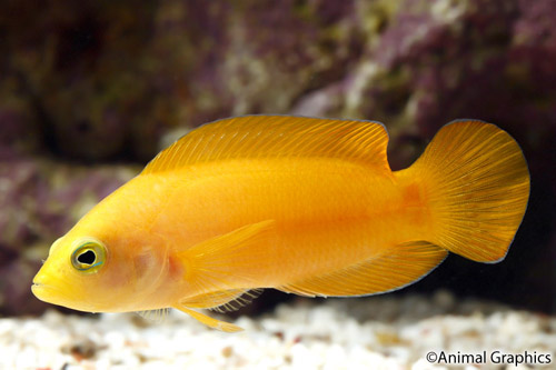 picture of Yellow Pseudochromis Med                                                                             Pseudochromis fuscus