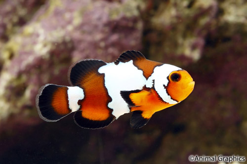black ice ocellaris clownfish tank raised med amphiprion ocellaris