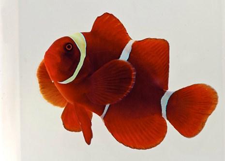 Gold stripe maroon clownfish med premnas biaculeatus for Clown fish scientific name