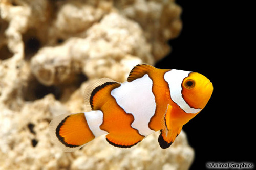 Snowflake ocellaris clownfish tank raised med amphiprion for Clown fish care