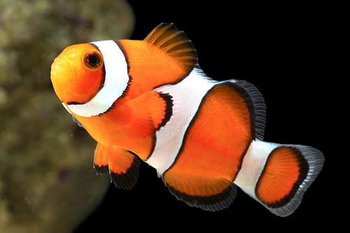 True percula clownfish tank raised med amphiprion percula for Clown fish facts