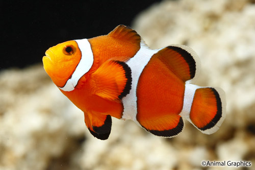 Stubby ocellaris clownfish tank raised sml amphiprion for Clown fish care