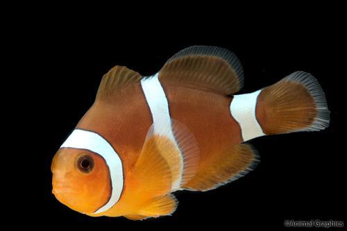 Blood orange clownfish tank raised sml premnas biaculeatus for Clown fish care