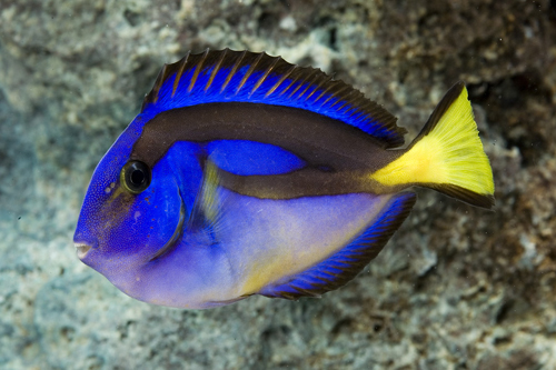 Yellow belly blue regal hippo tang africa med for Blue tang fish facts
