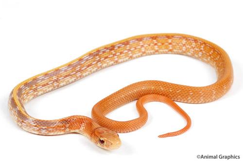 albino radiated ratsnake sml elaphe radiata 'albino' - Segrest Farms Snake